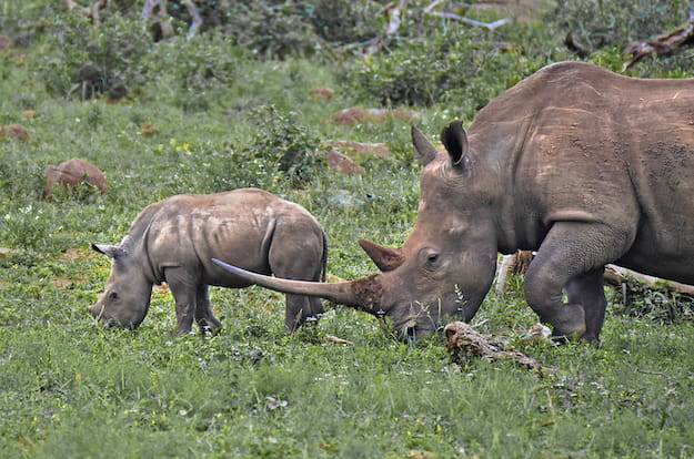 Black rhino and calf with enormous horn