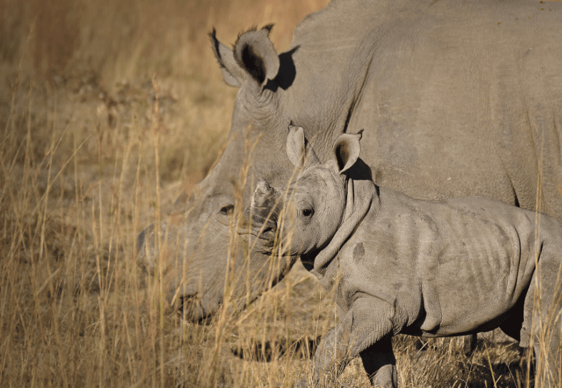 White rhino and baby in South Africa