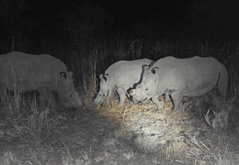 White rhinos at nightfall