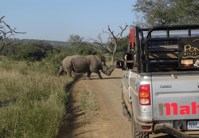 White rhino crossing the road
