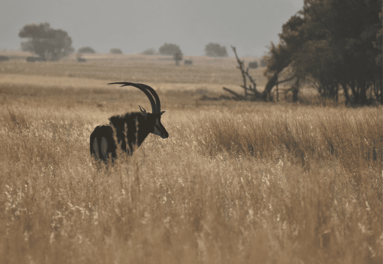 Sable antelope in South Africa
