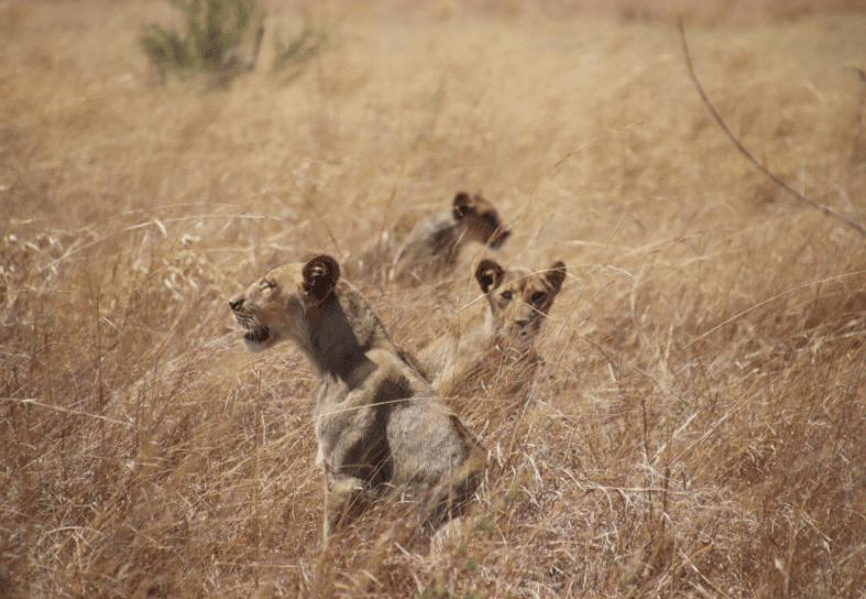 Visiting-Zimbabwe-lion