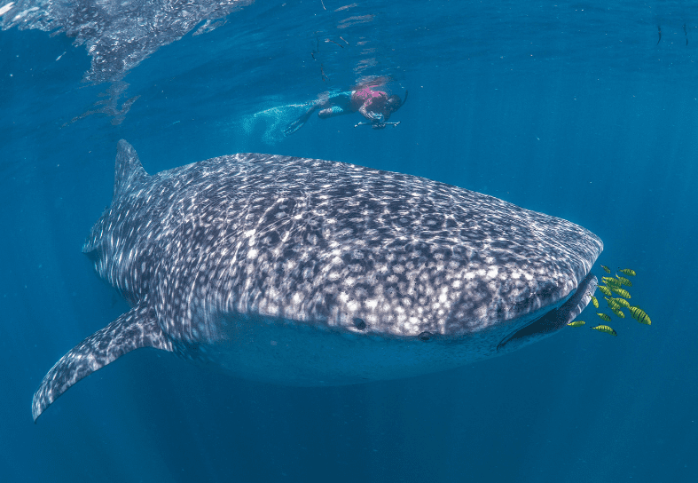 marine-conservation-whale-shark-research