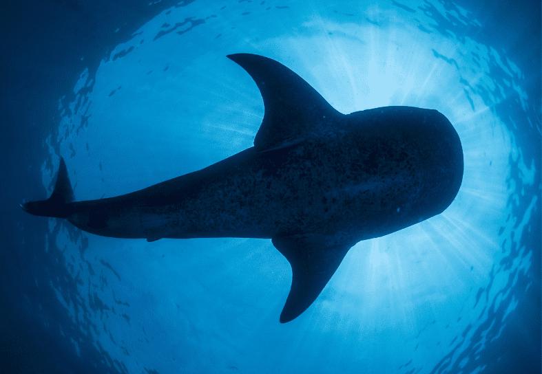 marine-conservation-whale-shark