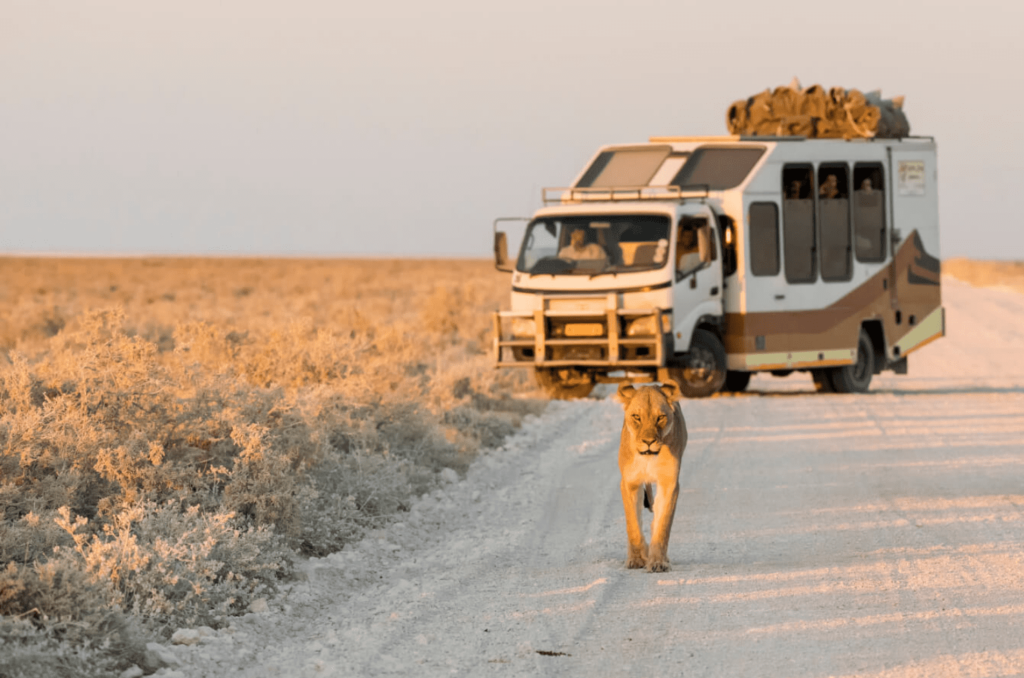 Lion on the road and safari vehicle