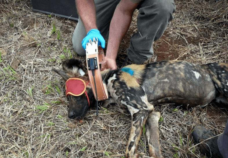 Fitting a tracking collar to a Wild Dog