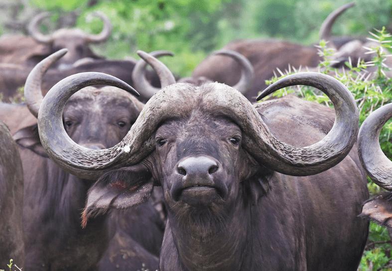 Large male buffalo