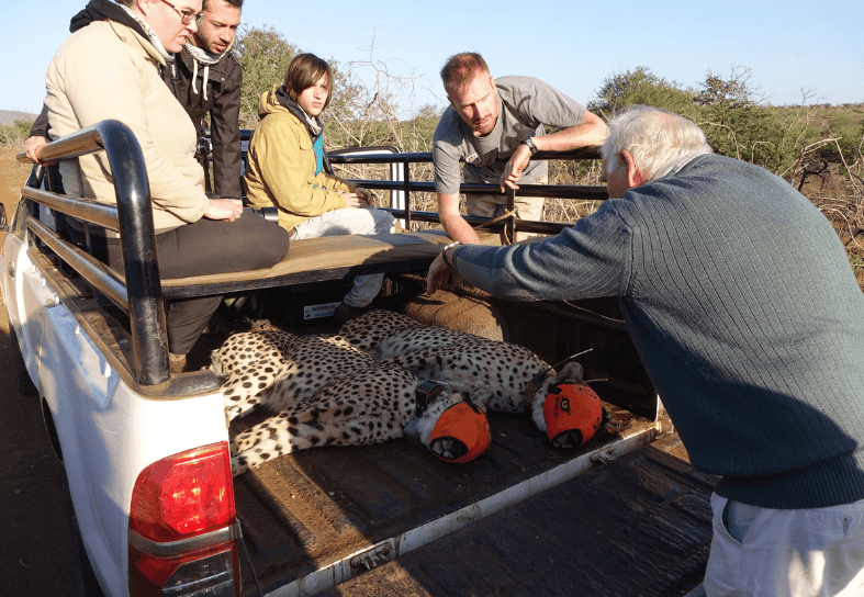 Volunteers helping with a cheetah darting