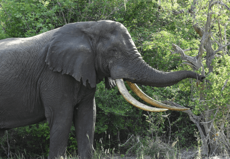 Huge male elephant with massive tusks