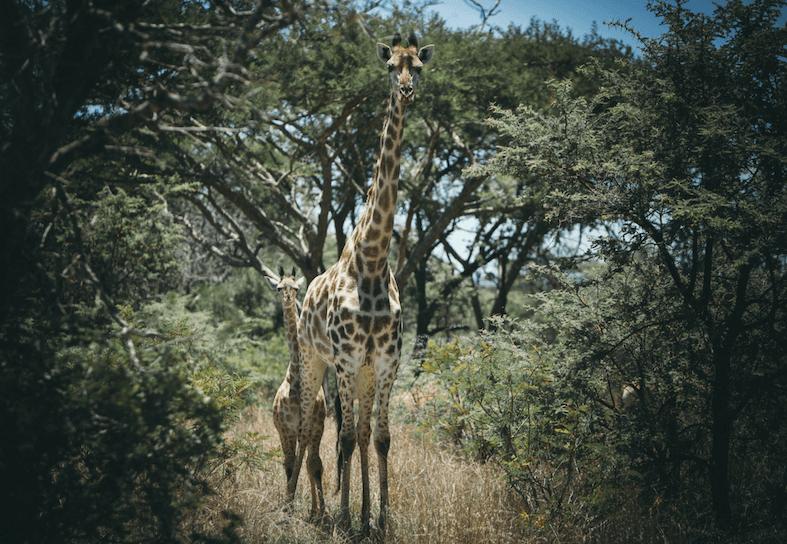 family-volunteers-giraffe-and-baby