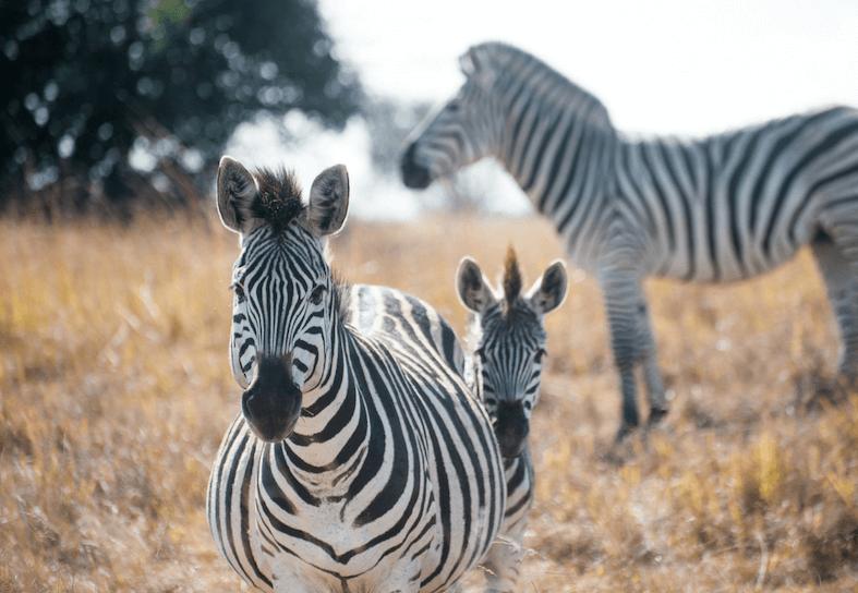 family-volunteers-zebra-baby