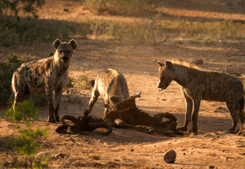 Pack of striped hyena on a kill