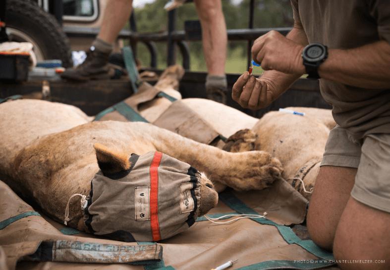 Darting a lionness