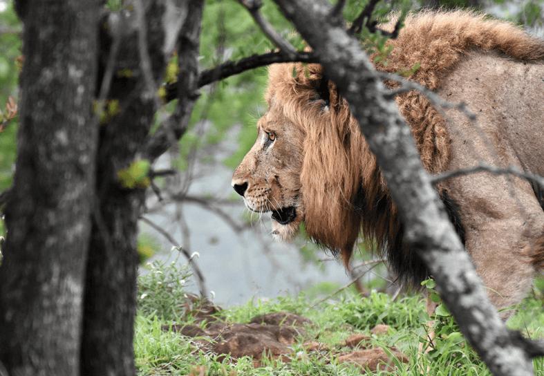 Large male lion walking