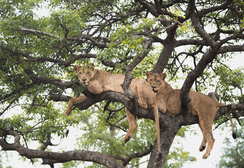 Two lionnesses in a tree
