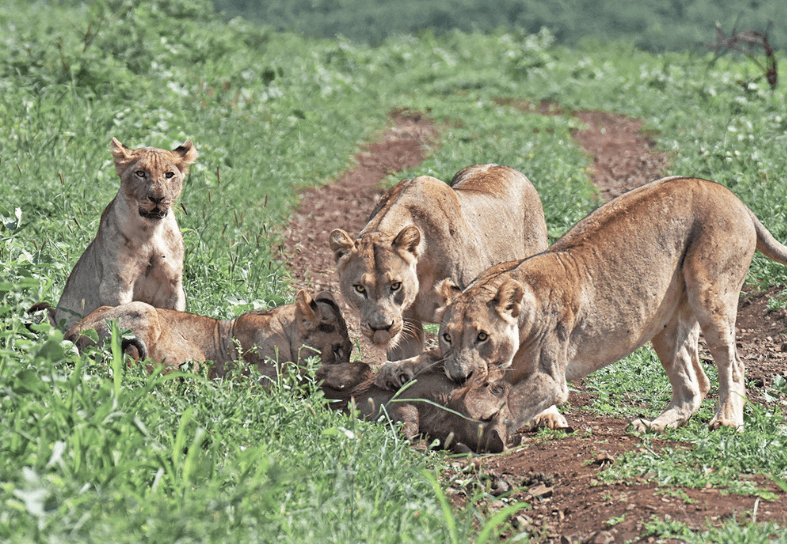 Pride of lionness around a kill