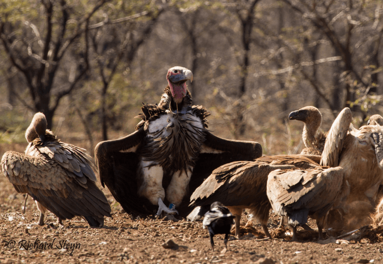 Large number of vultures on the ground