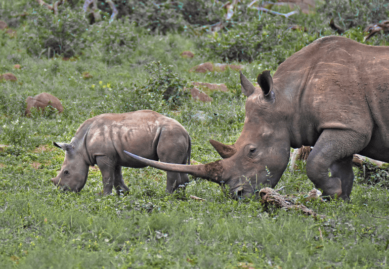 Mother and baby white rhino with large horn