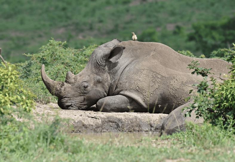 Large white rhino lying down