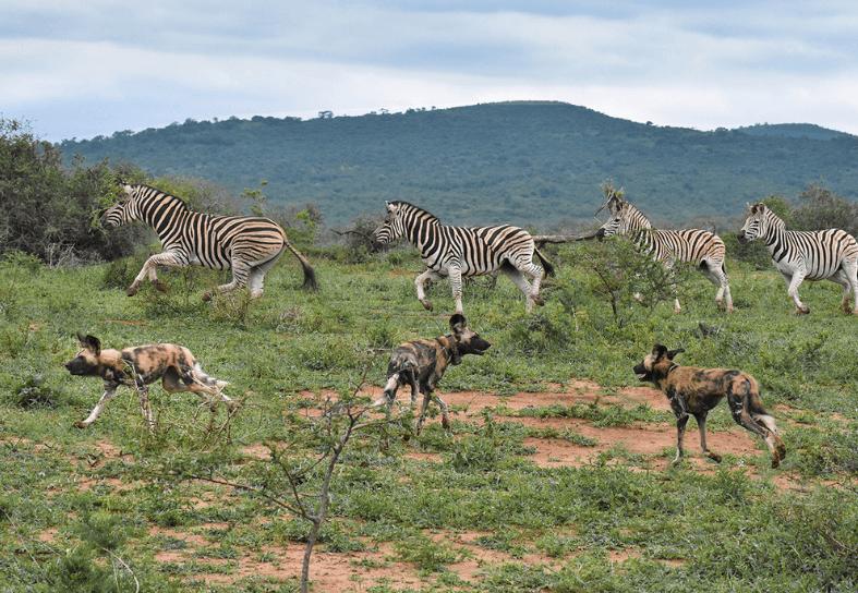 Pack of wild dog hunting zebra