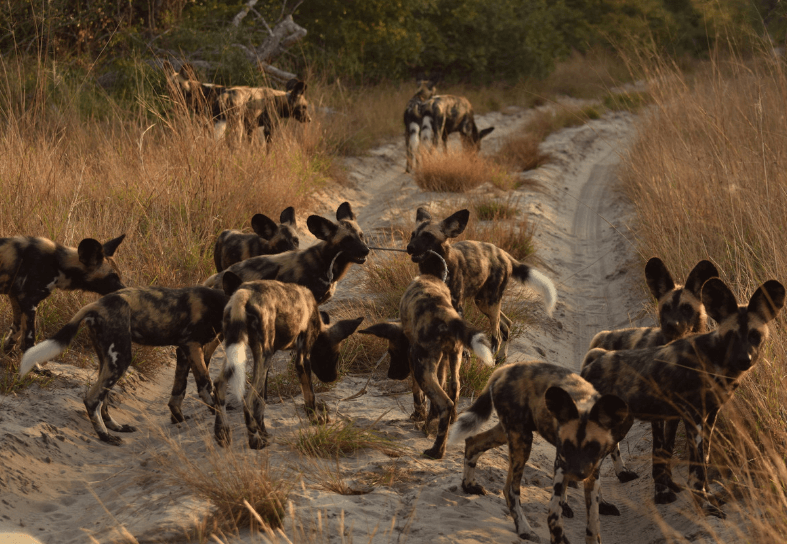 Large pack of wild dogs