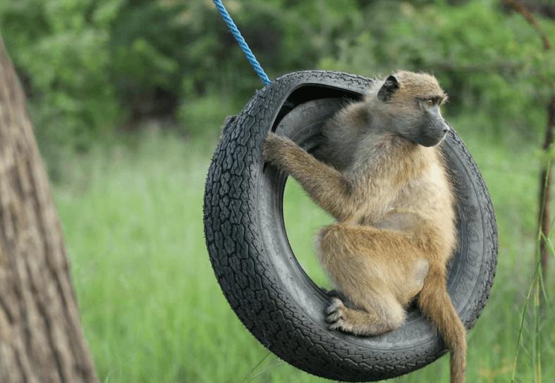 Family-volunteering-baboon-swing