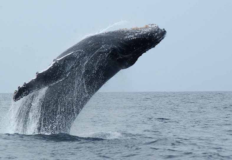 1_Humpback-Whale-Photo_Ken-Findlay