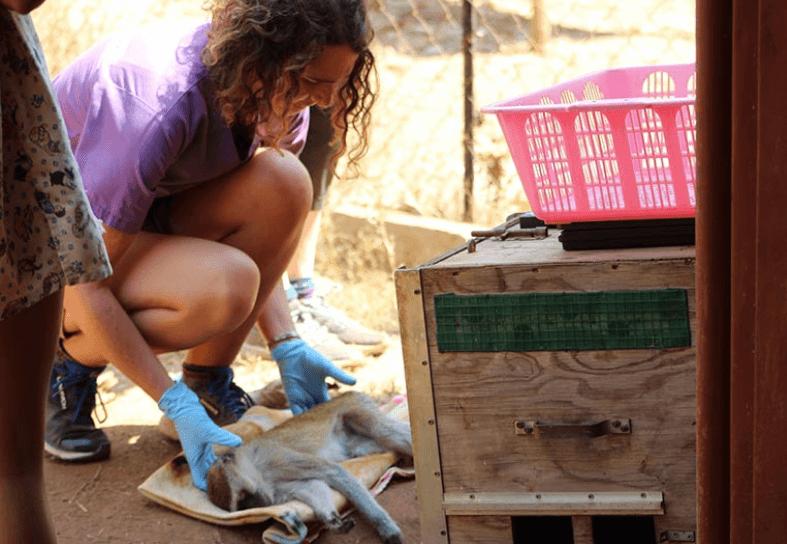 Veterinary-intern-vervet-monkey