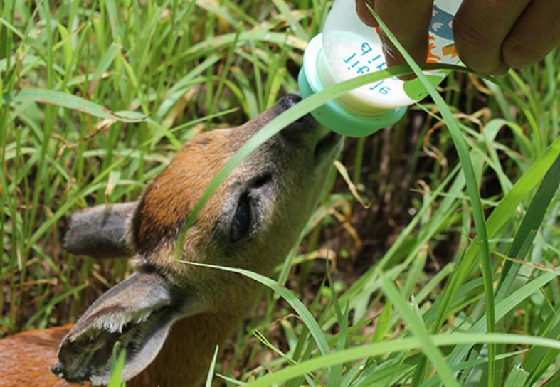 antelope-feeding-malawi