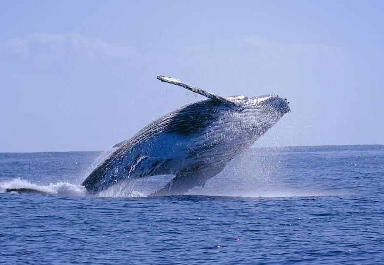 humpback whale breach moz
