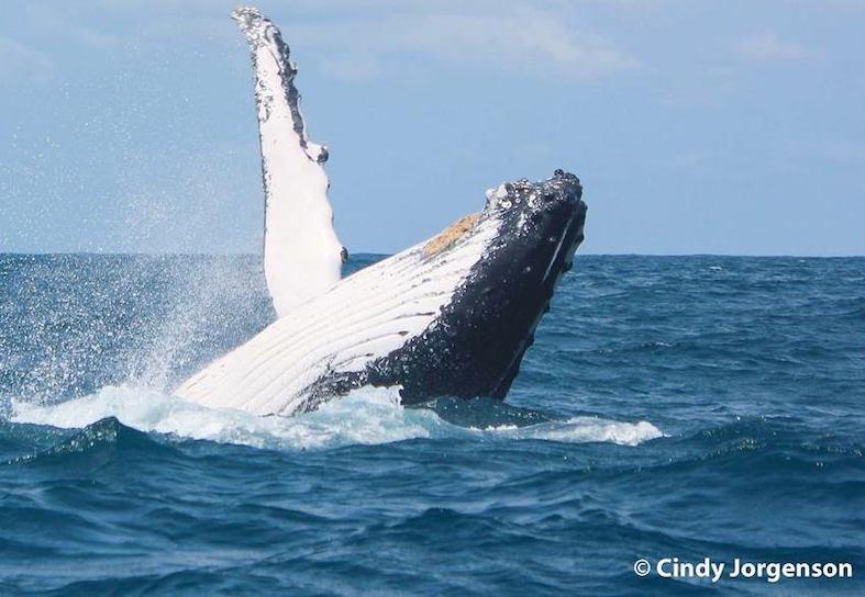 humpback-whale-breach