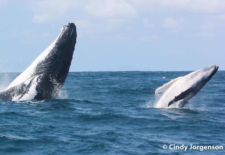humpback-whale-double-breach