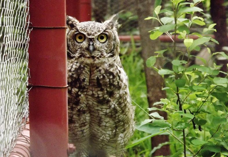 owl-rehabilitation-malawi
