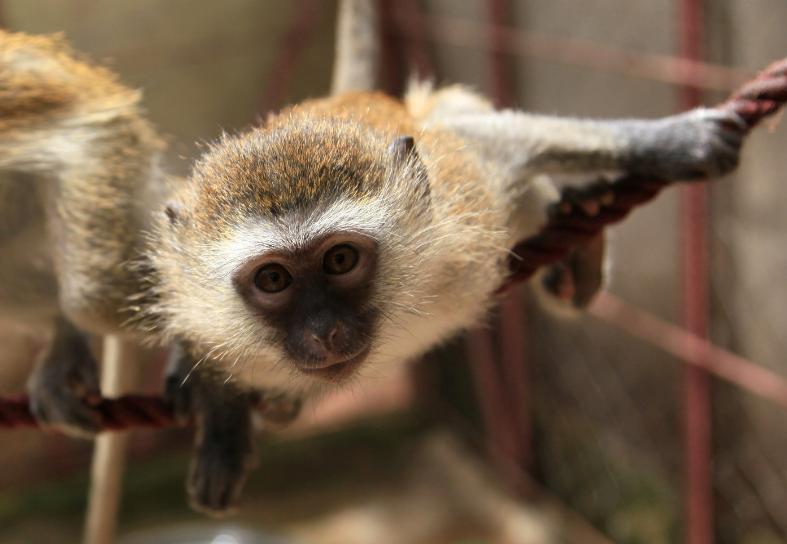 vervet-monkey-care