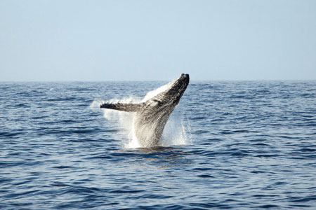 Humpback Whale Research Programme