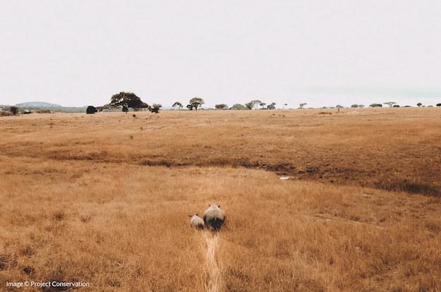 A baby black rhino and mother walking across the bush in Zimbabwe