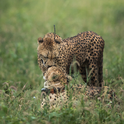 Our projects - cheetah conservation