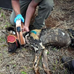 Our projects - wild dog research