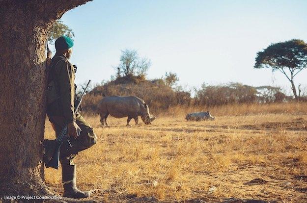 Ranger standing guard over two white rhino in Zimbabwe
