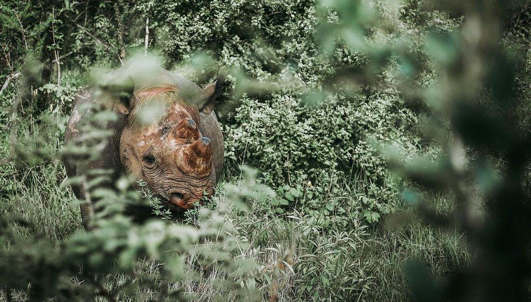 Black rhino in the bush