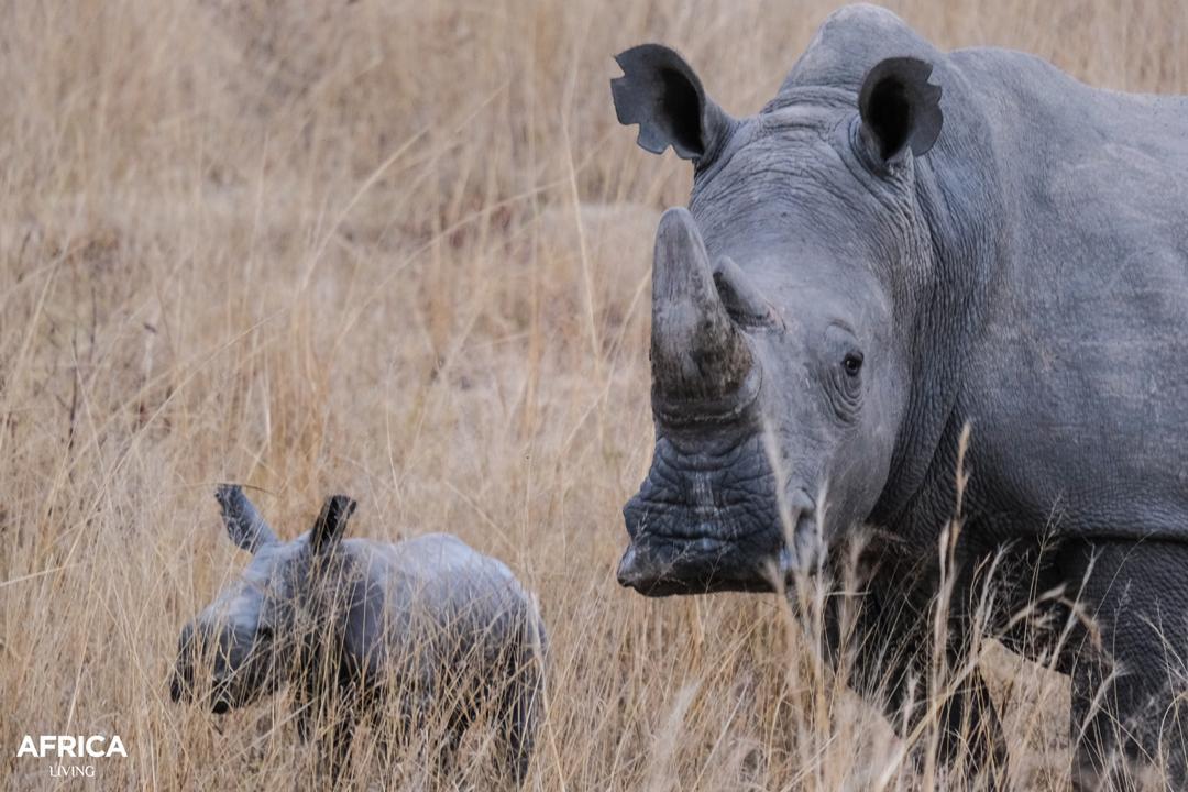 White rhino baby and mother