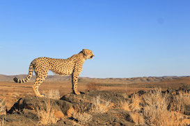 Large Carnivore Conservation in Namibia