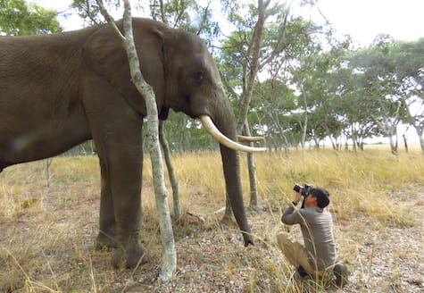 Volunteer in Zimbabwe taking a close up photograph of an African elephant