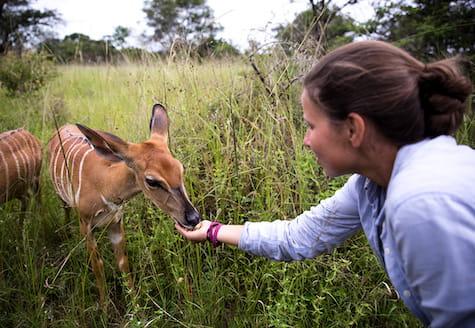 Wildlife volunteer feeding a nyala antelope