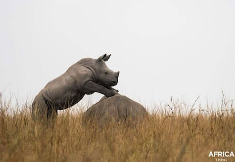 Baby white rhino with front feet on rock