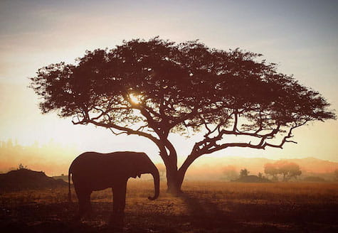 African elephant standing under Acacia tree at sunset