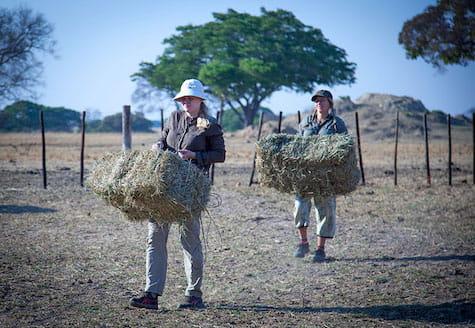 Volunteers carrying large hay bales
