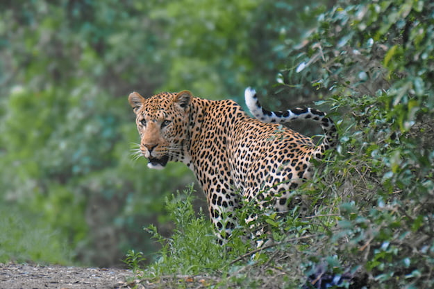 Leopard in the bush in South Africa