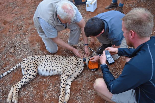 Volunteers helping vet to collar cheetah