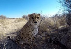 Cheetah close up in Namibia